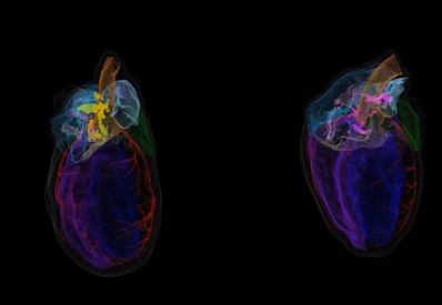image showing the differences in neurons in male and female rat hearts